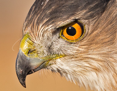 Cooper's Hawk Portrait