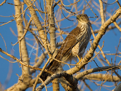 Immature Cooper's Hawk just before sunset