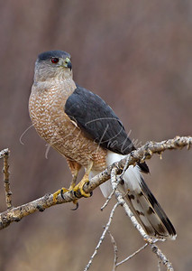 Adult Male Cooper's Hawk