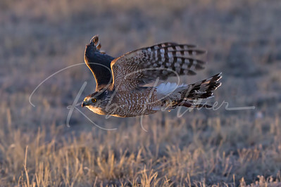 Trained Cooper's Hawk on the move.