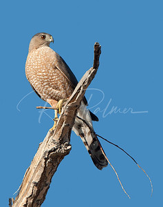 Female Cooper's Hawk with branch for nesting material.