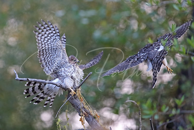 Cooper's Hawks Playing II