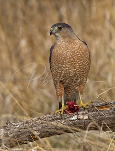 Adult Female Cooper's Hawk with prey