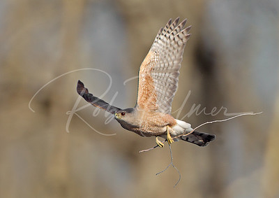 Adult male Cooper's Hawk bringing a branch to the nest.