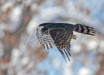 Immature Sharp Shinned Hawk