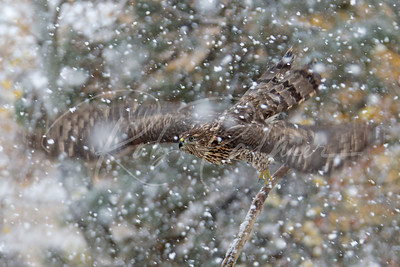 Immature Northern Goshawk in a snowstorm.