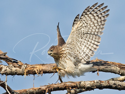 Cooper's Hawk display