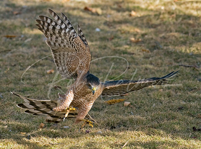 Female Cooper's hawk incoming