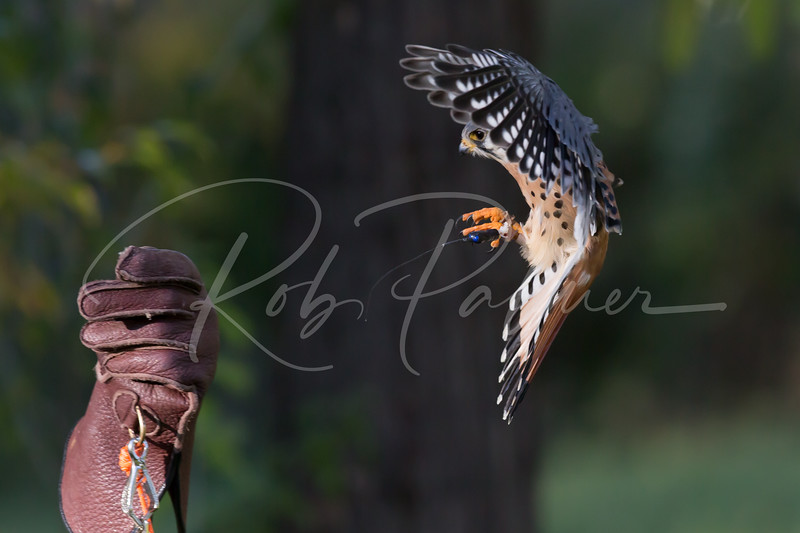 Trained American Kestrel coming to the glove