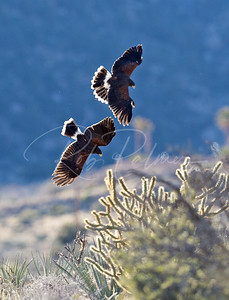 Two Harris's Hawks diving after a rabbit.