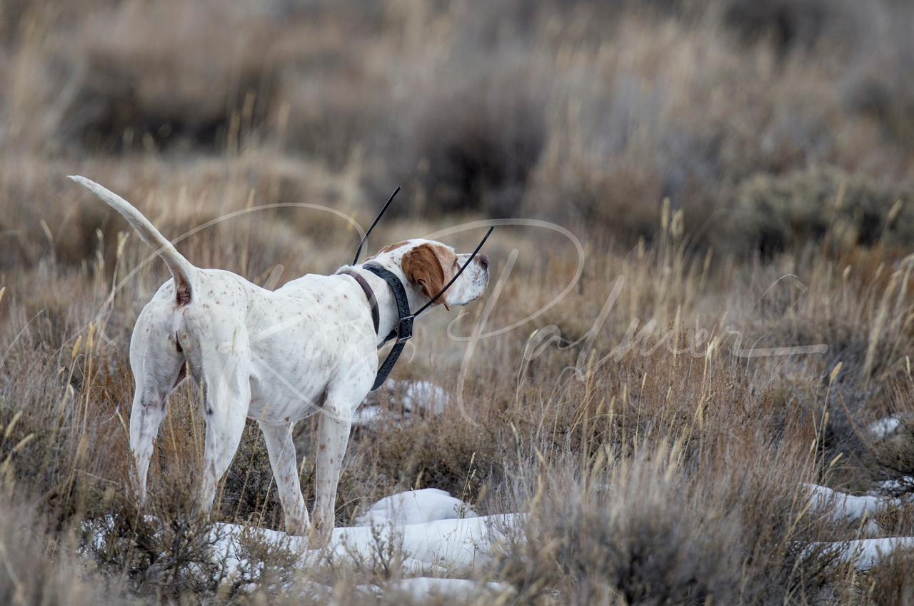 English Pointer on point on sage grouse.