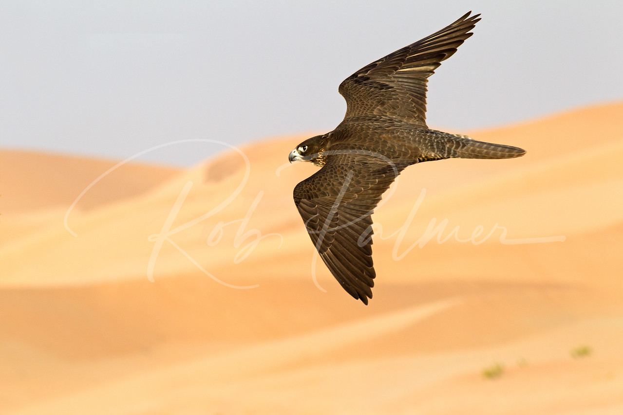 Falcon flying over the desert of the United Arab Emirates