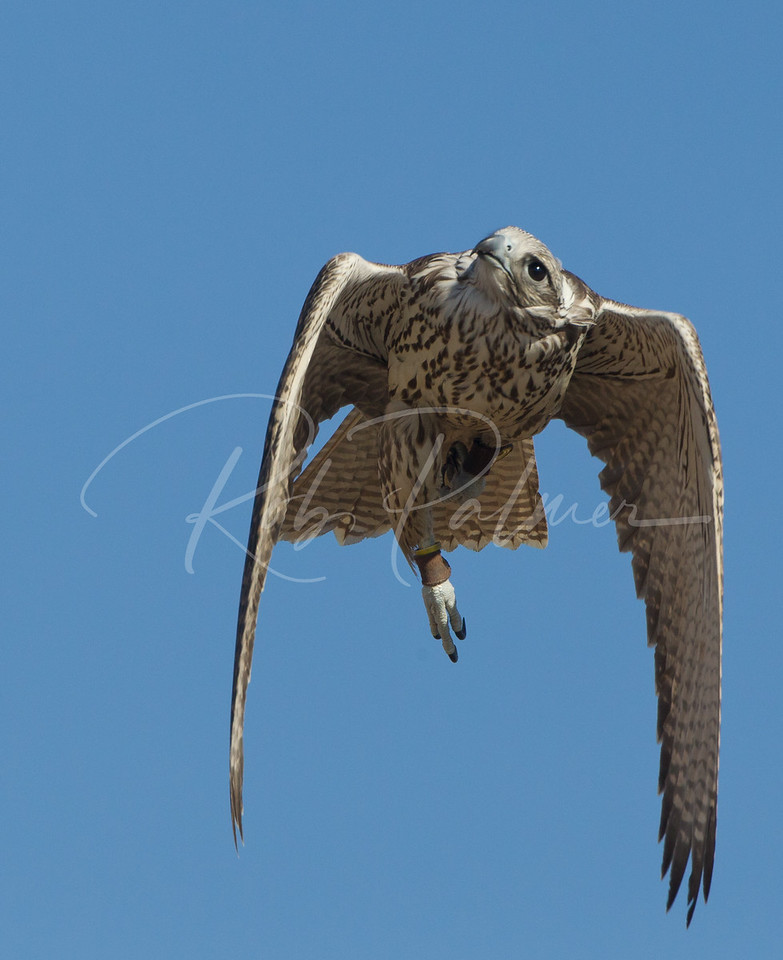 Gyrfalcon checking out the sky (c)