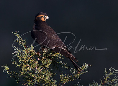 Aplomado Falcon on a juniper.