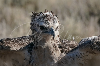 Young Martial Eagle