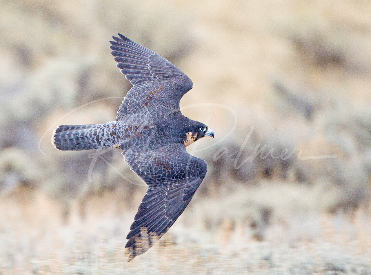 Peregrine Falcon (c) on the move