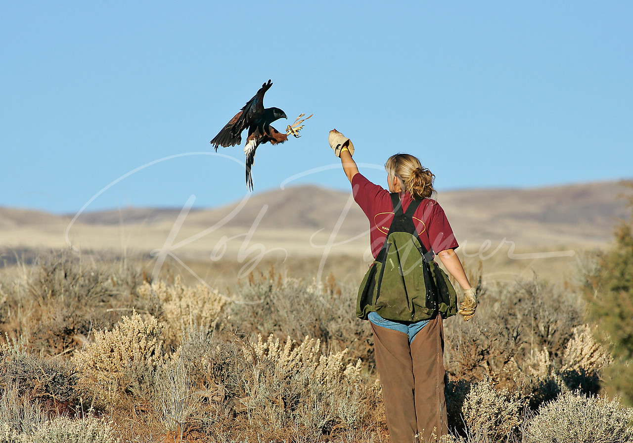 Falconer and Harris's Hawk