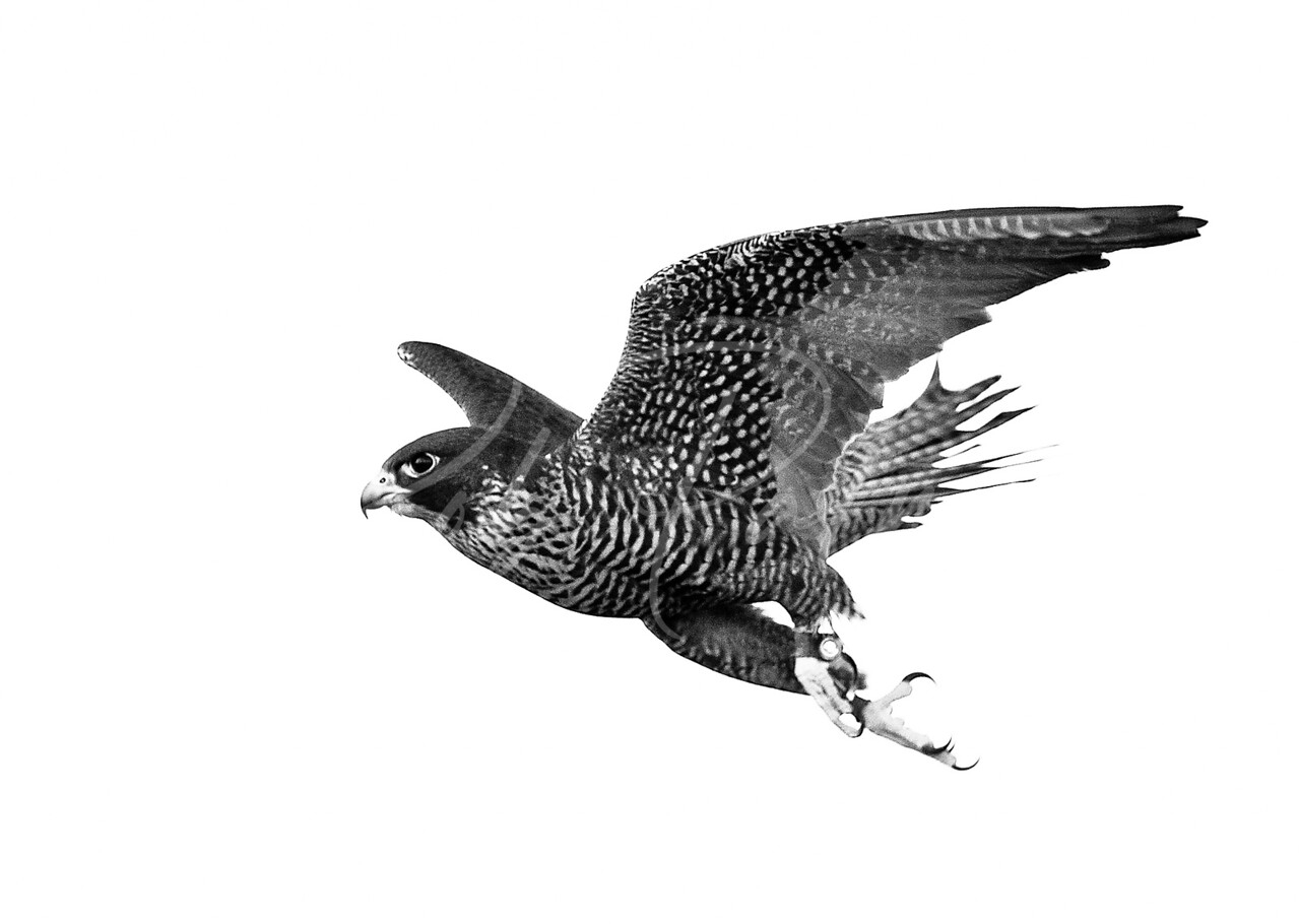 Gyr/peregrine Falcon in Black and White