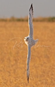 Gyrfalcon going vertical