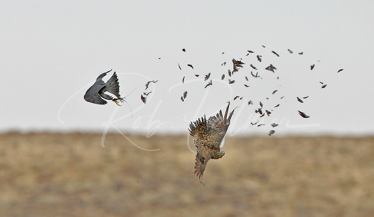 Falcon and Sage Grouse Collision.  The grouse got away!