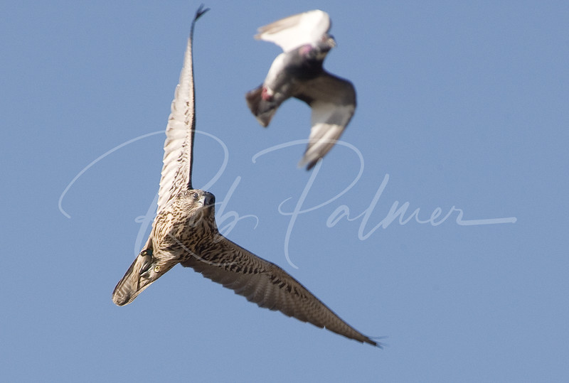 Gyrfalcon in Pursuit of a Pigeon