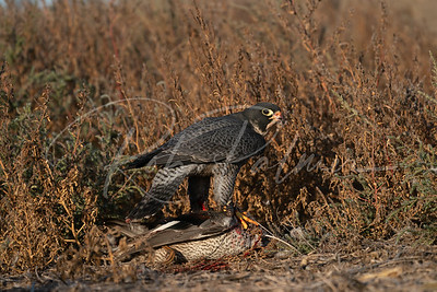 Peregrine Falcon on a duck