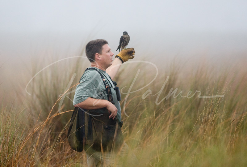 Hunting in the Mist with a Merlin