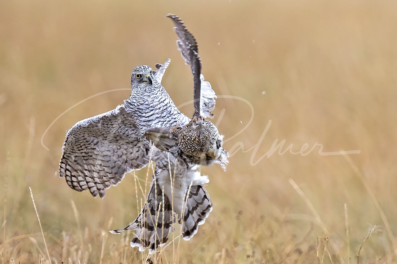 Siberian Goshawk with young Sharptailed Grouse