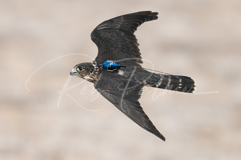 Merlin with transmitter