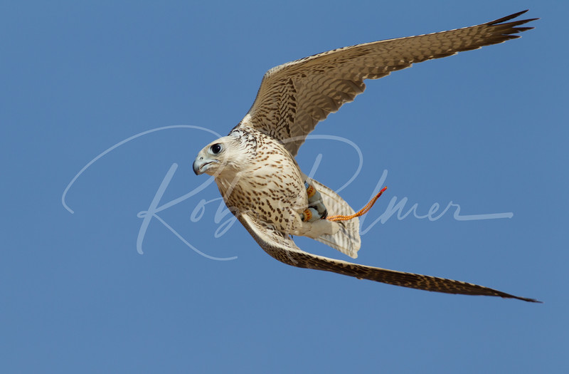 A gyr hybrid from the middle east