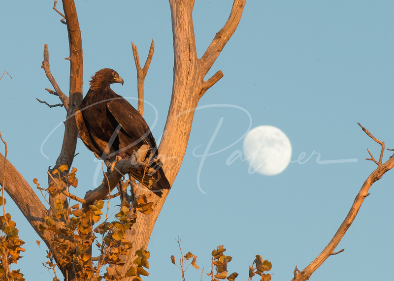 Adult Golden Eagle (c) with the moon in the background.