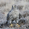 Gray Gyrfalcon on a sage grouse