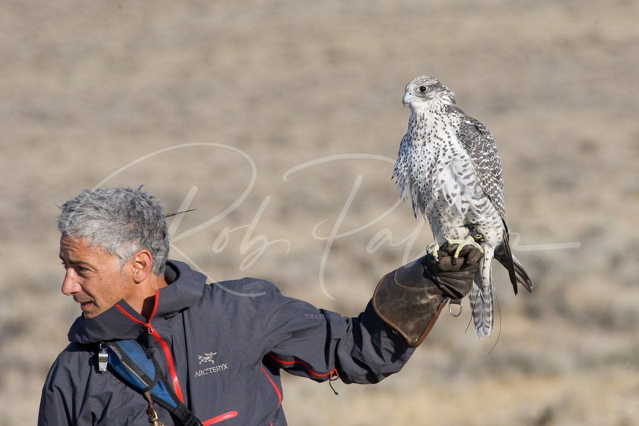 Female Gyrfalcon and Falconer