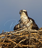 Adult Female Osprey with a young one.