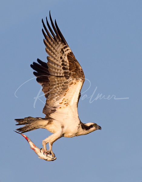 Male Osprey with a fish