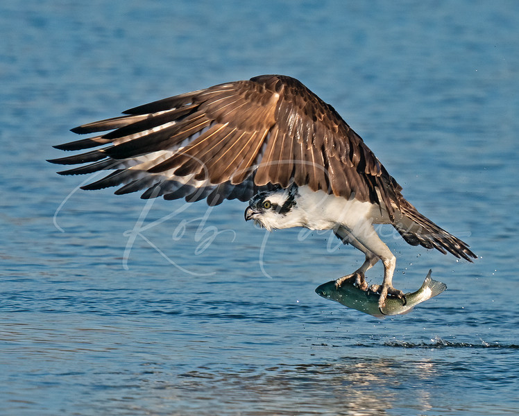 Osprey with a trout