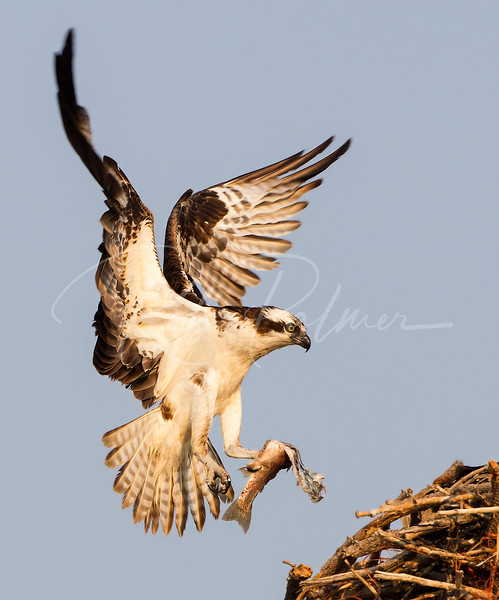Male Osprey with fish for dinner.