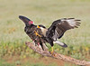 Turkey Vulture fighting with a Northern Caracara