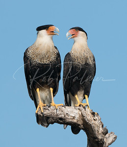 "A pair of caracaras or ""pairacaras"""
