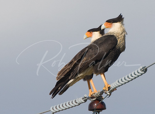 A Pair of Caracaras