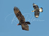 Caracara and Turkey Vulture 3765