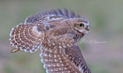 Young owl in flight