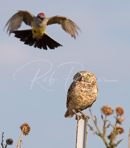 Kingbird attacking a burrowing owl