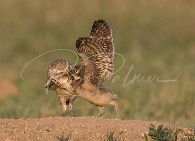 Burrowing Owl feeding a youngster