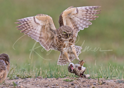 Female Burrowing Owl with a young rabbit