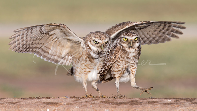 Male and Female Burrowing Owls