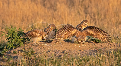 Burrowing Owlets staring at a ???