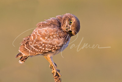 Another curious owlet