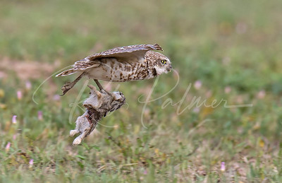 Burrowing Owl with a young rabbit