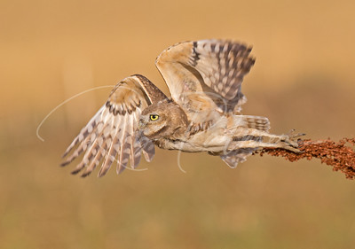 Burrowing Owl Take off